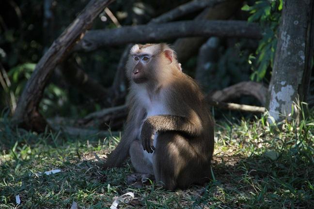 khao-yai-monkey